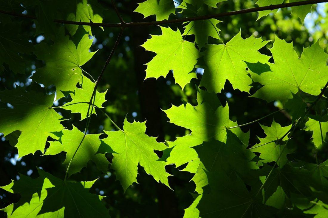 Spitzahorn Acer platanoides Laub